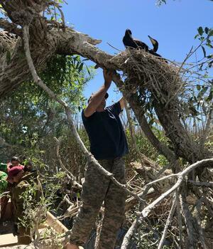 Гнездо больших бакланов