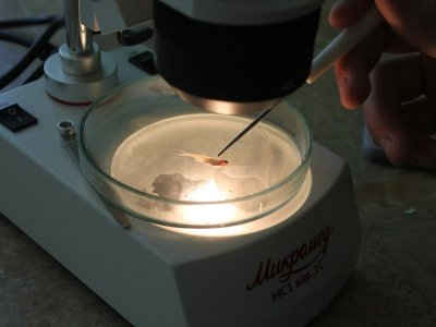 Головастик под микроскопом
