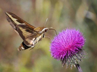 Бражник линейчатый завис как колибри. Андрей Стеблев.