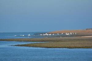 Скопление больших белых цапель на морском побережье