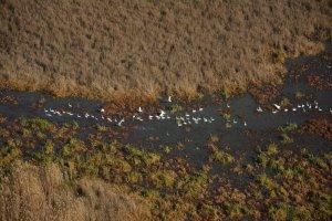 Лебеди-кликуны кормятся в зарослях лотоса
