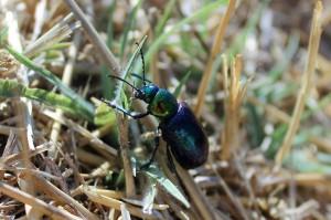 Азиатский листоед (Chrysochares asiatica)