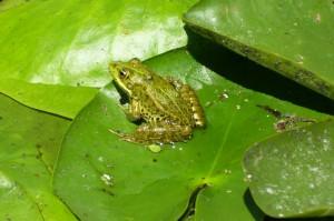 Лягушка озерная (Pelophylax ridibundus)