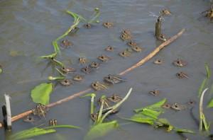 Озерные лягушки (Pelophylax ridibundus)