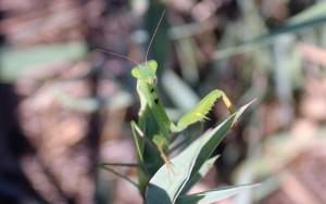 Богомол религиозный (Mantis religiosa)