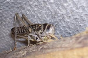 Кузнечик серый (Decticus verrucivorus)