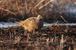 Самочка фазана
