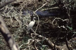 Малая белая цапля (Egretta garzetta)