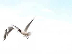 Озёрные чайки (Chroicocephalus ridibundus)