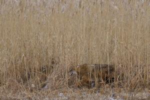 Обыкновенный шакал(Canis aureus)