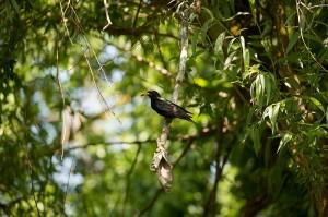 Обыкновенный скворец (Sturnus vulgaris)