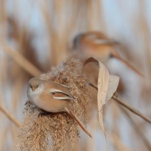 Усатые синицы (Panurus biarmicus)