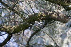 Длиннохвостая синица ( Aegithalos caudatus)