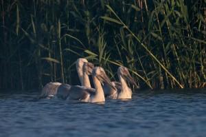 Молодые кудрявые пеликаны (Pelecanus crispus)