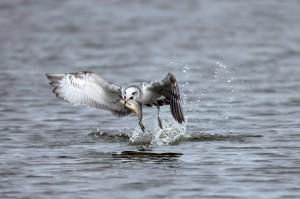 Озерная чайка (Larus ridibundus) в зимнем наряде