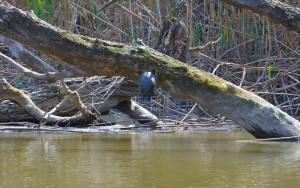 Болотная черепаха (Emys orbicularis)