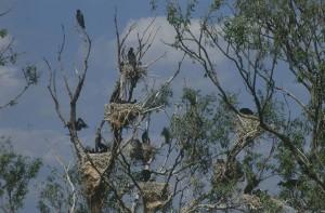 Большие бакланы (Phalacrocorax carbo)